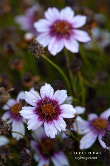 Coreopsis rosea 'Sweet Dreams'.