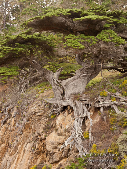 Old Veteran Cypress, Point Lobos State Reserve.