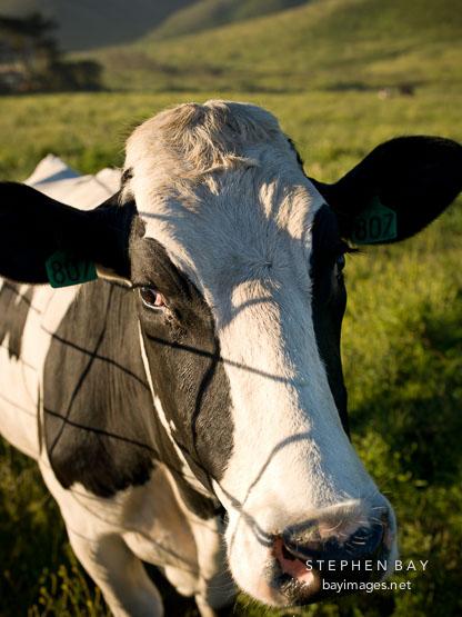 Happy cow at HIistoric E Ranch.