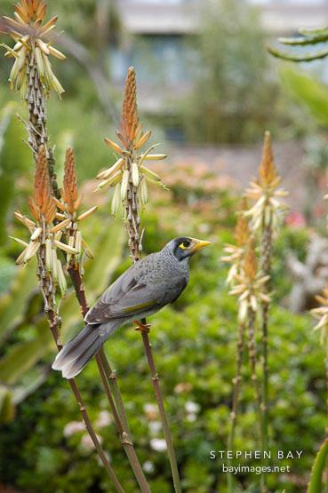 Noisy Miner, Manorina melanocephala. Royal Botanical Gardens. Sydney, Australia.
