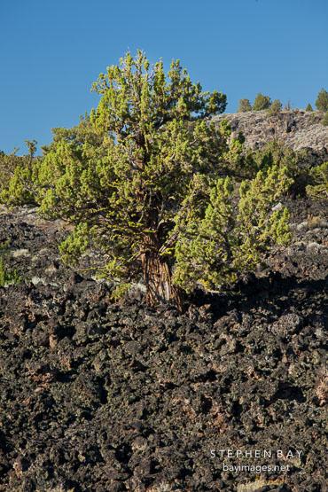 Juniper tree, Devils Homestead Flow. Lava Beds National Monument, California.