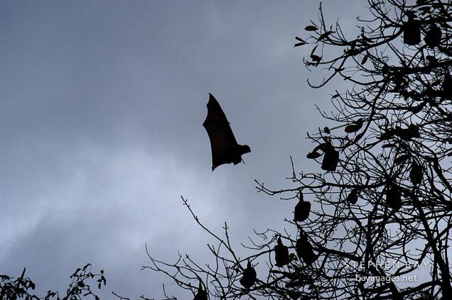 Grey headed flying foxes. Pteropus poliocephalus. Royal Botanical Gardens, Sydney, Australia.