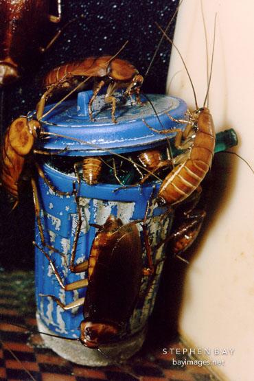 American cockroach. Periplaneta americana. San Francisco Zoo, California.