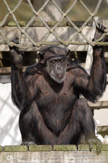 Chimpanzee, Pan troglodytes.