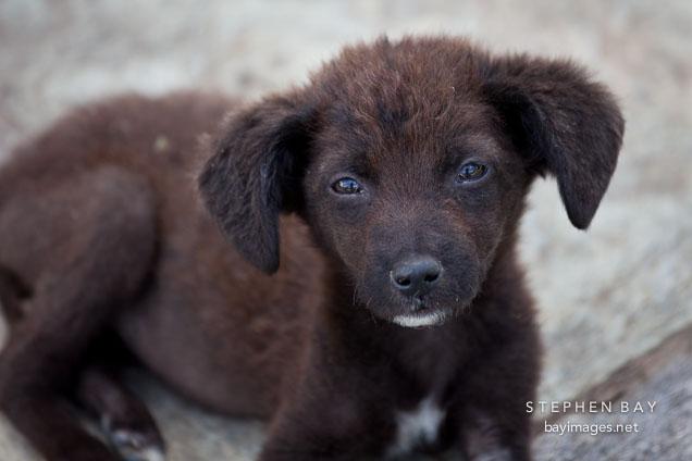 Dark brown puppy. Khamsum Yuelley Namgyal Chorten, Punakha, Bhutan.