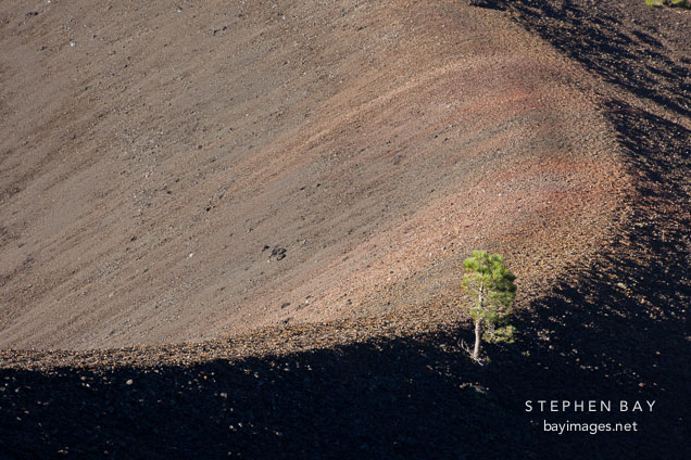 Pine tree growing on the curve of crater at Cinder Cone. Lassen NP, California.