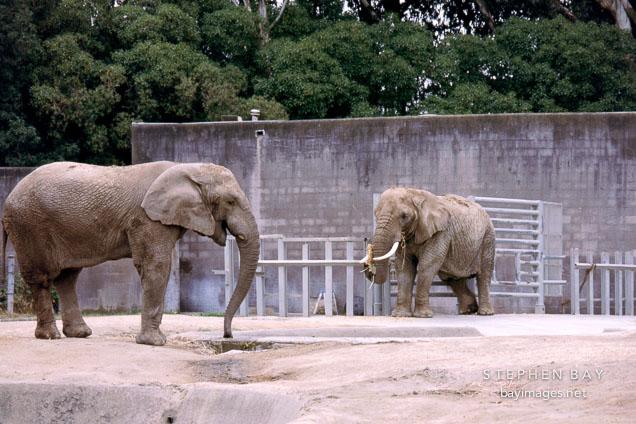Calle and Tinkerbelle. Asian elephants. Elephas maximus. San Francisco Zoo, California.