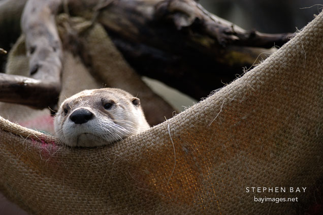 North American River Otter. Lutra canadensis. Male.