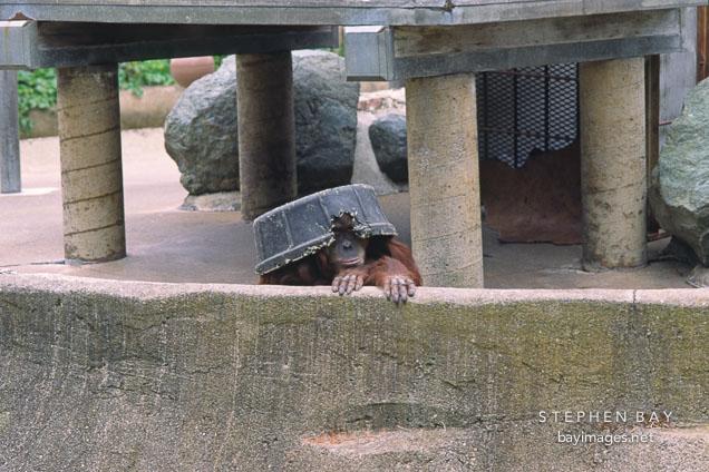 Orangutan. Pongo pygmaeus. San Francisco Zoo, California.
