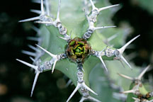 Euphorbia coerulescens. - Photo #100