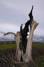 Dead tree at Arastradero Preserve. Palo Alto, California, USA. - Photo #2900