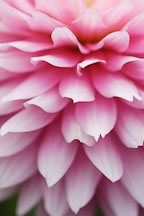 Pink Dahlia petals. - Photo #4301