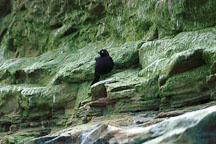 Brewer's blackbird in front of algae covered rocks. Natural Bridges State Beach, California, USA. - Photo #910