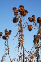 Cirsium californicum. California thistle. Irvine, California. - Photo #10