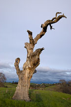 Dead tree at Arastradero Preserve. Palo Alto, California, USA. - Photo #2910