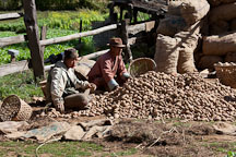 Farmers sorting potatoes. Phobjikha Valley, Bhutan. - Photo #23710