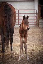 Newborn foal. Iowa State University horse barn. - Photo #32310