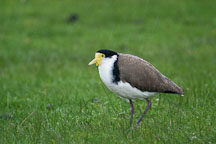 Spur-winged lapwing. Vanellus miles novaehollandiae. - Photo #1510