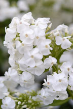Phlox paniculata. - Photo #4410