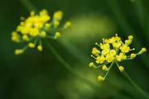 Dill. Anethum graveolens. - Photo #1911