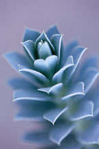 Euphorbia myrsinites. - Photo #611