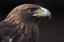 Golden eagle. Aquila chrysaetos. - Photo #2511