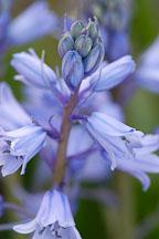 Hyacinthoides hispanica. Spanish bluebells. - Photo #3211