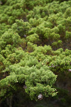 Monterey cypress, Cupressus macrocarpa. 17-Mile drive, California, USA. - Photo #4811