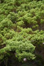 Monterey cypress, Cupressus macrocarpa. 17-Mile drive, California, USA. - Photo #4811