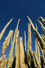 Totem pole cactus. Pachycereus schottii. - Photo #5311