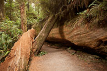 Path on the Simpson-Reed discovery trail. Jedediah Smith Redwood State Park, California. - Photo #28811