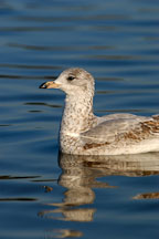 Ring-billed gull, Larus delawarensis. Palo Alto Baylands, California. - Photo #2311