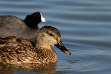Female mallard, Anas platyrhynchos, and American coot, Fulica americana. Palo Alto Baylands, California. - Photo #2312