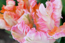 Tulip, Apricot Parrot. - photos & pictures - ID #11987