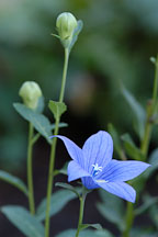 Platycodon grandiflorus. Balloon flower. - Photo #1913