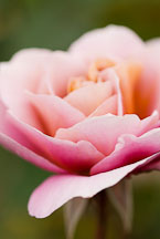 Rose, Distant Drums. - photos & pictures - ID #12305