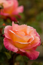 Rose, Broadway. - photos & pictures - ID #12307