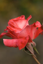 Hybrid tea, Brigadoon. Rose. - photos & pictures - ID #12531