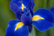 Dutch Iris, Blue Ribbon. - Photo #12068