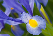 Dutch Iris, Sky Beauty - Photo #12081