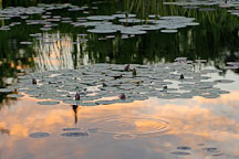 Lily pond. Ames, Iowa, USA. - Photo #12955