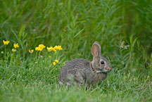 Rabbit. Ames, Iowa, USA. - Photo #12949