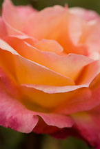 Rose, Broadway. - Photo #12308