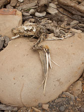 Remains of dead pelican. Point Lobos, California. - Photo #27014