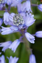 Hyacinthoides hispanica. Spanish bluebells. - Photo #3215