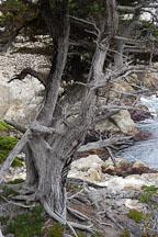 Monterey cypress, Cupressus macrocarpa. 17-Mile drive, California, USA. - Photo #4815