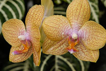 Phalaenopsis, 'California Orange' Orchid. Orchidaceae. - Photo #3515