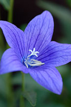 Platycodon grandiflorus. Balloon flower. - Photo #1915