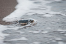 Baby sea turtle reaches the Caribbean sea. Tortuguero, Costa Rica. - Photo #14034