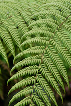 Ferns. - Photo #14257